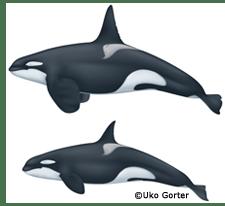 Bigg's_killer_whale