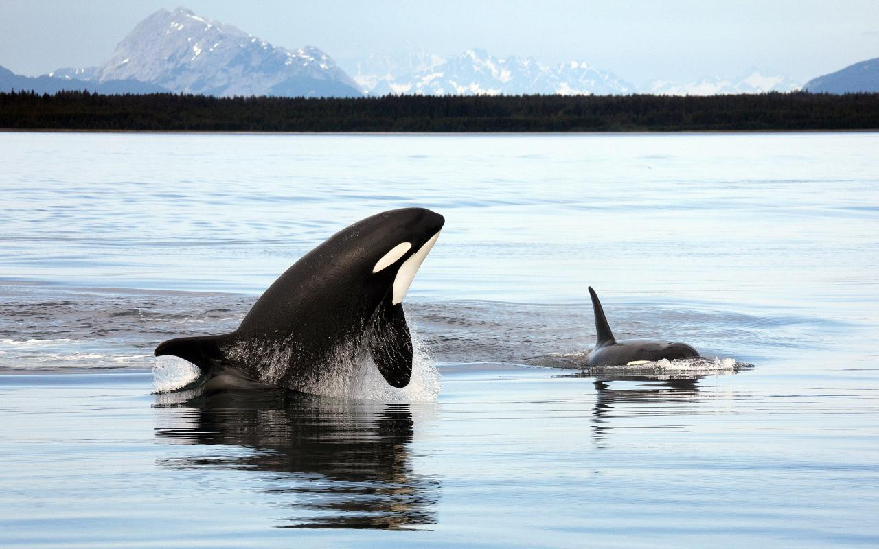 Orca_Alaska.jpg